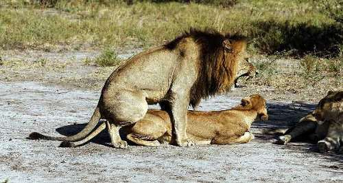 animal farm sex lions mating shagging fucking photograph